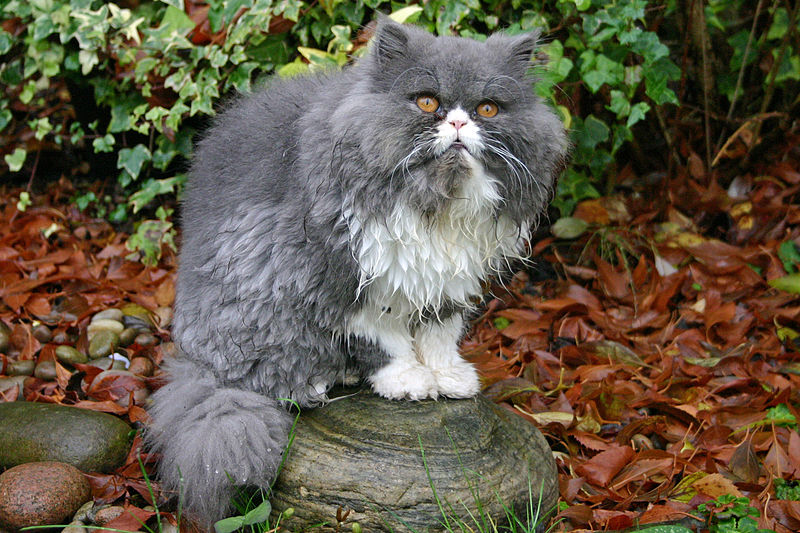 Persian cat by Si Griffiths